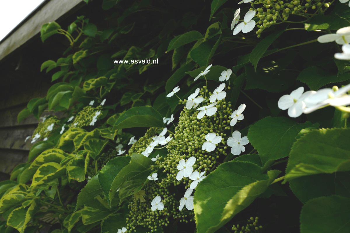 Hydrangea anomala 'Mirranda'