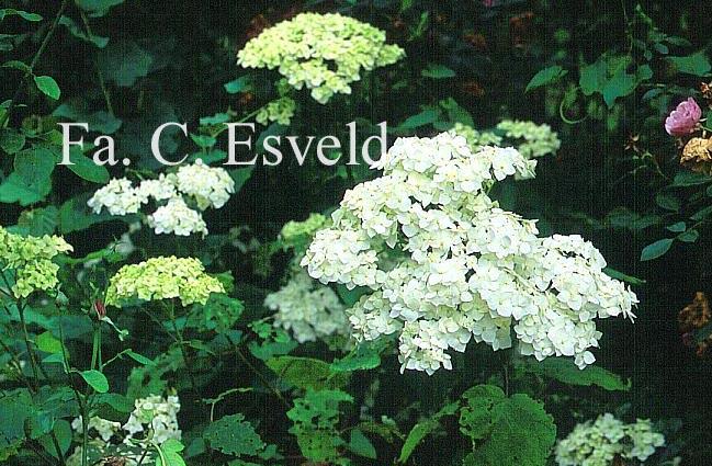 Hydrangea arborescens 'Grandiflora'