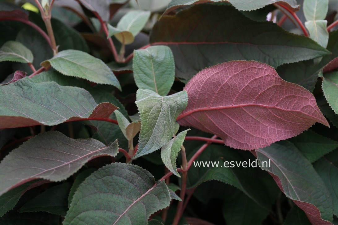 Hydrangea aspera 'Haopr012' (HOT CHOCOLATE)