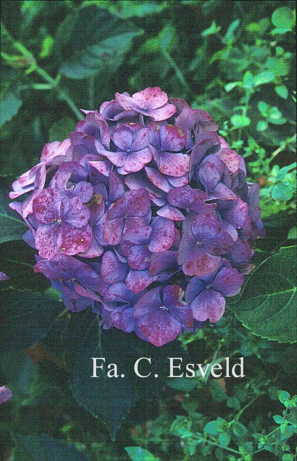 Hydrangea macrophylla 'Benelux'