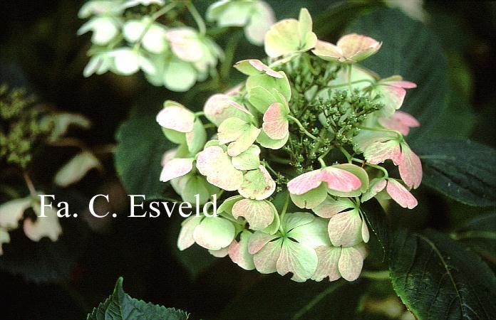 Hydrangea macrophylla 'Elster'
