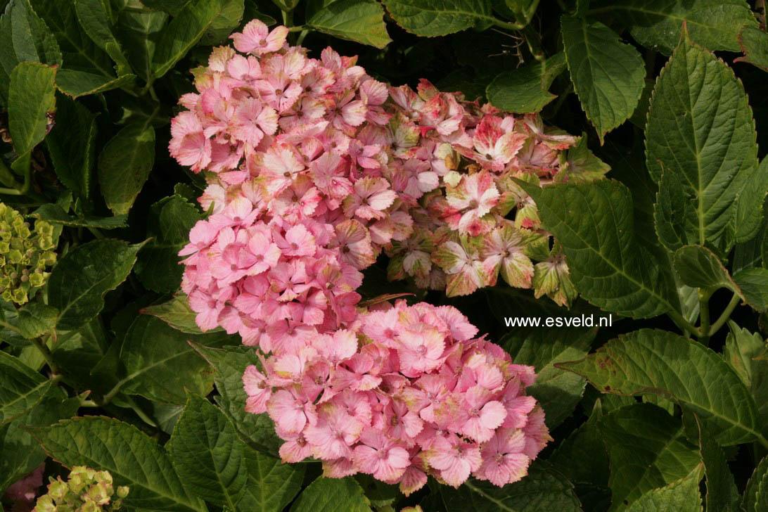 Hydrangea macrophylla 'Fantasia' (FOREVER & EVER)
