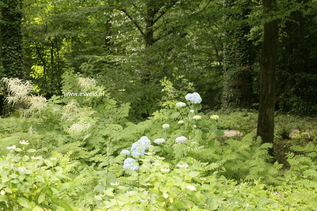 Hydrangea macrophylla 'Generale Vicomtesse de Vibraye'