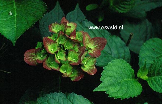 Hydrangea macrophylla 'Green Shadow'