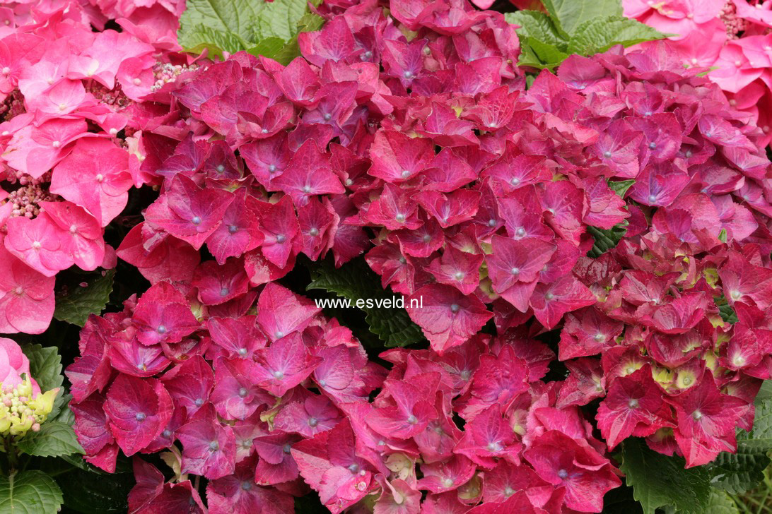 Hydrangea macrophylla 'Hot Red'