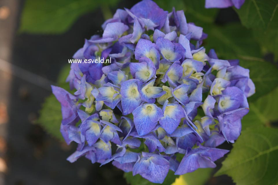 Hydrangea macrophylla 'Lemmenhof'