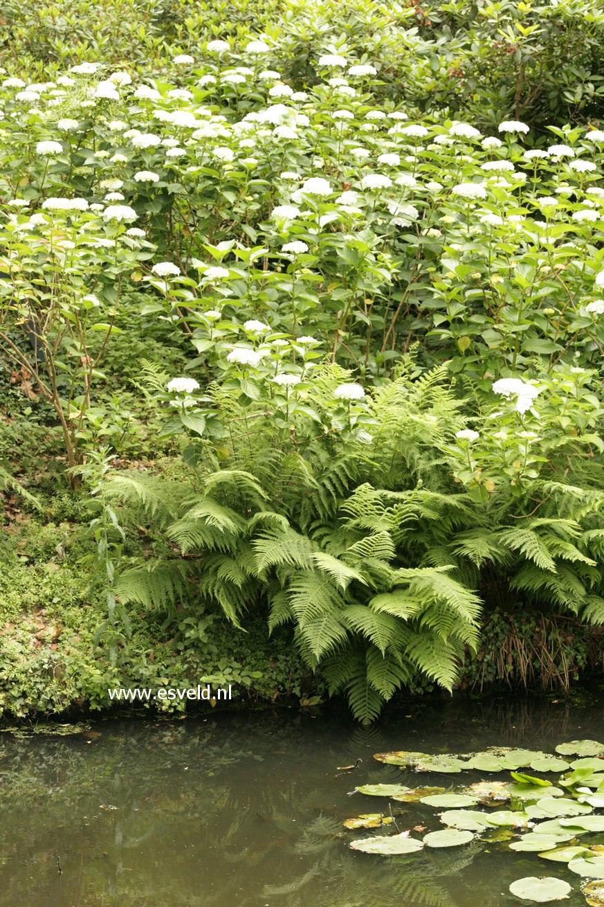 Hydrangea macrophylla 'Soeur Therese'