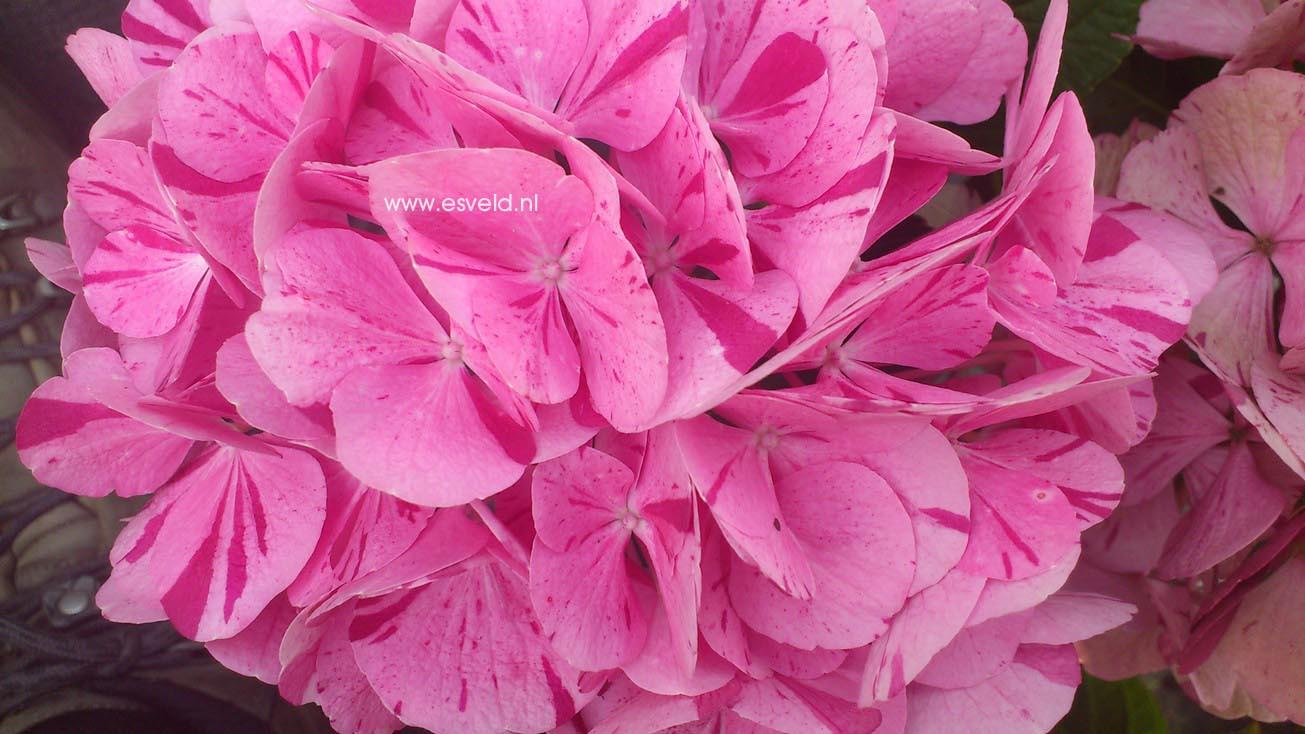 Hydrangea macrophylla 'Sweet Fantasy' (HOVARIA)