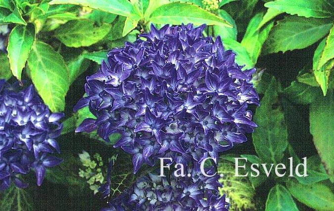 Hydrangea macrophylla 'Tovelit'