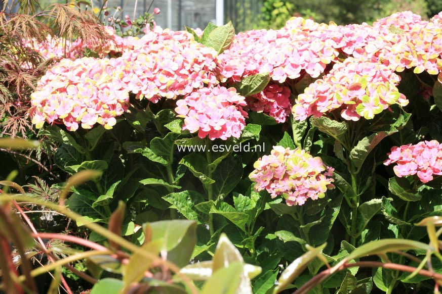 Hydrangea macrophylla 'Xian' (MAGICAL OPAL)