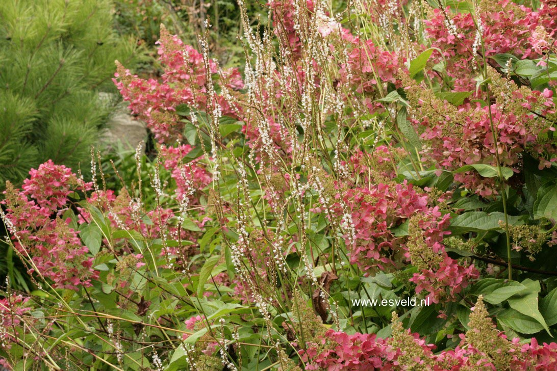 Hydrangea paniculata 'DVPinky' (PINKY WINKY)