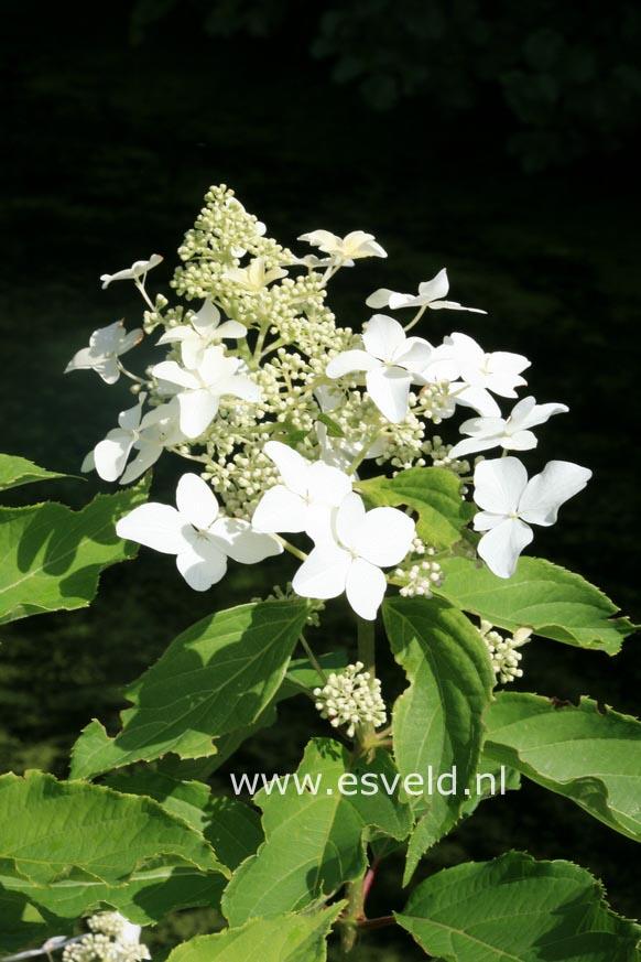 Hydrangea paniculata 'Degudo'