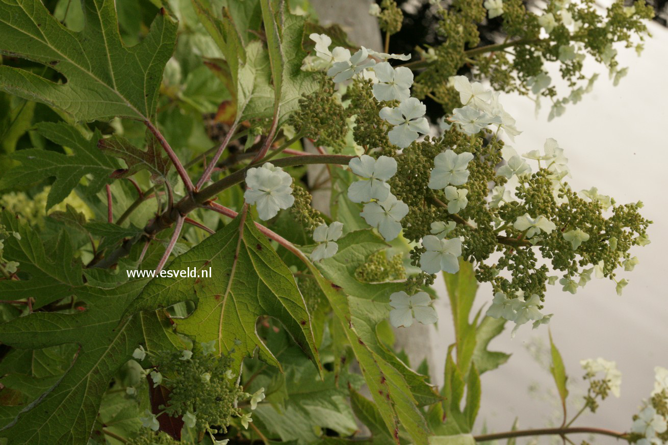 Hydrangea quercifolia 'Haopr010' (ICE CRYSTAL)
