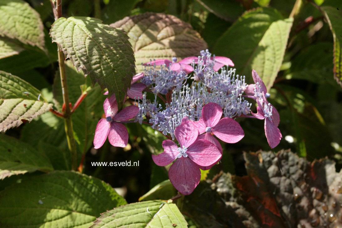 Hydrangea serrata 'Murasaki-kobai'