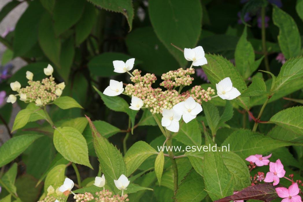 Hydrangea serrata 'Oto-hime'