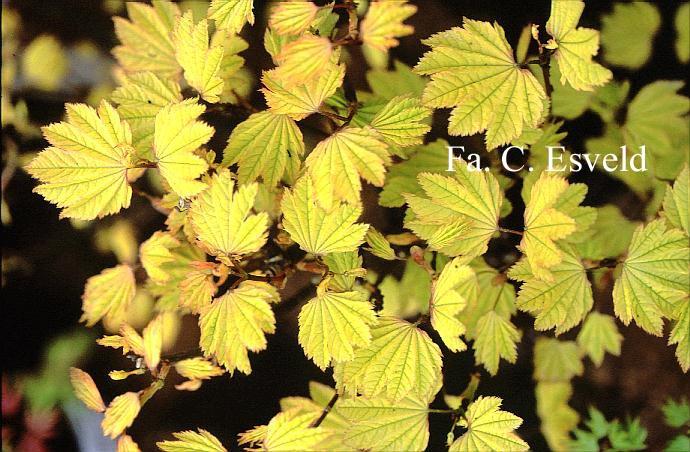 Acer circinatum 'Sunglow'