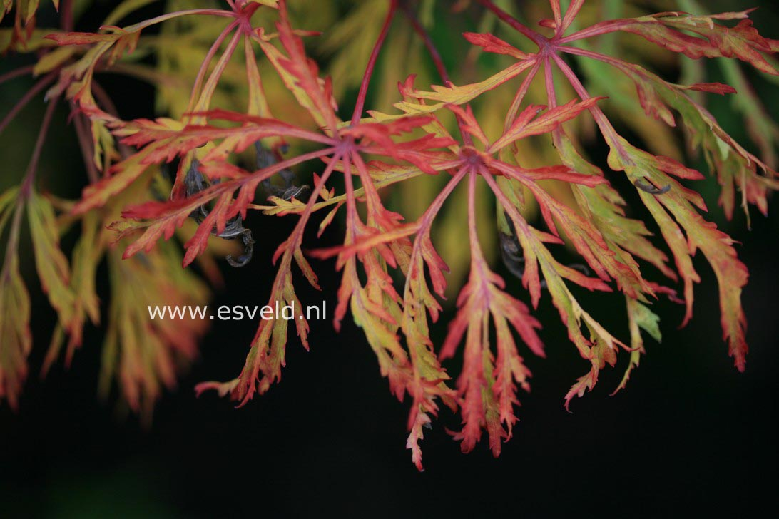 Acer japonicum 'Fairy Light'