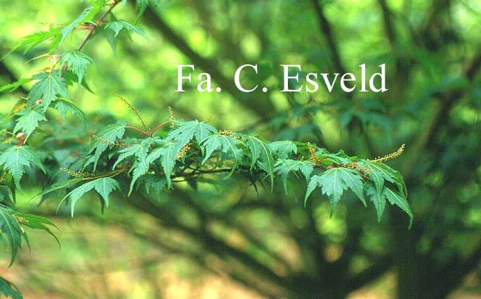 Acer micranthum