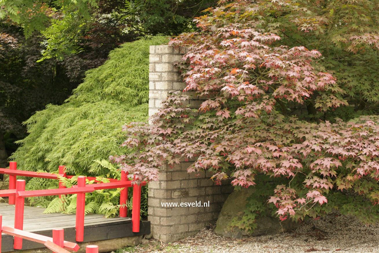 Acer palmatum 'Akegarasu'