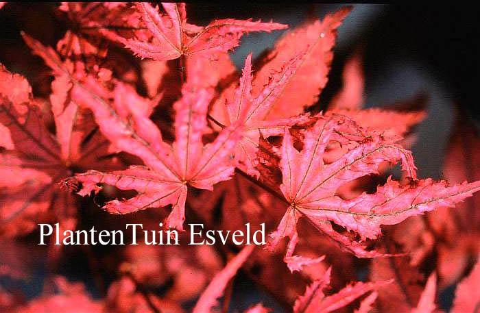 Acer palmatum 'Amagi-shigure'