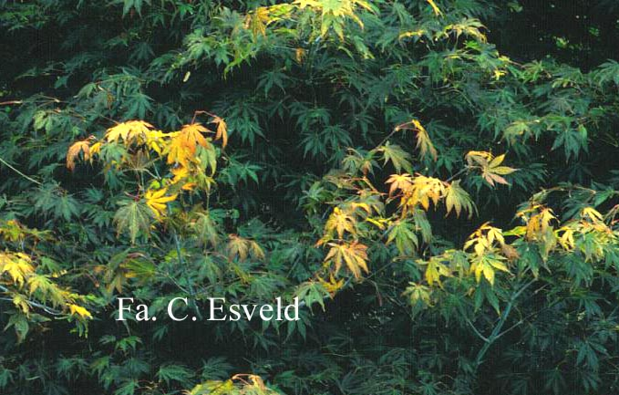 Acer palmatum 'Azuma-murasaki'
