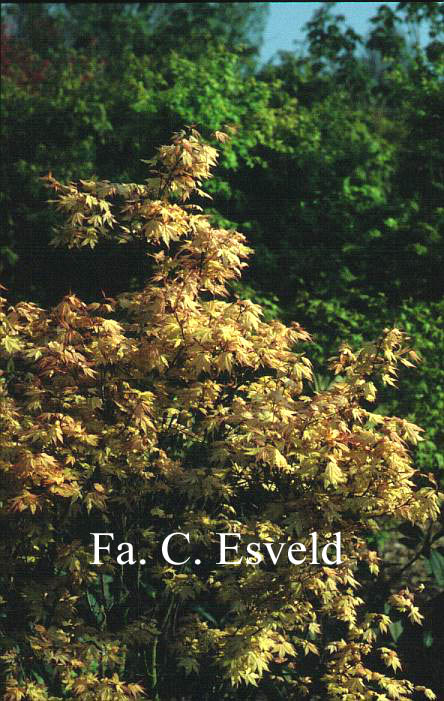 Acer palmatum 'Coral Pink'