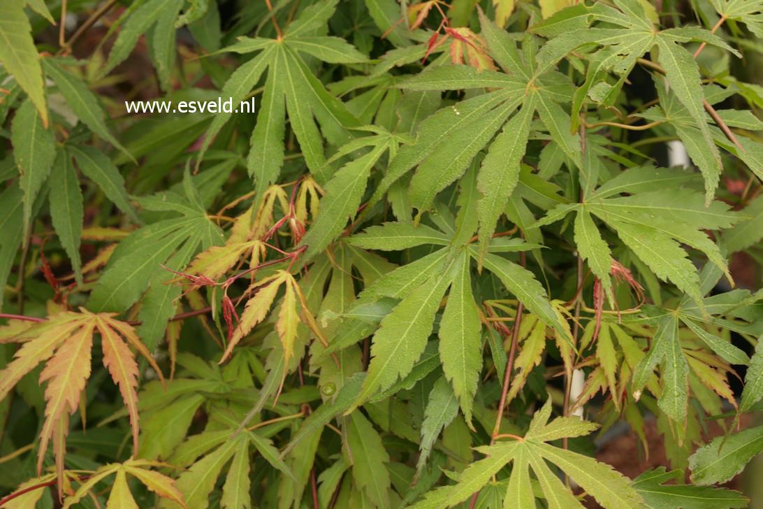 Acer palmatum 'Gentaku'