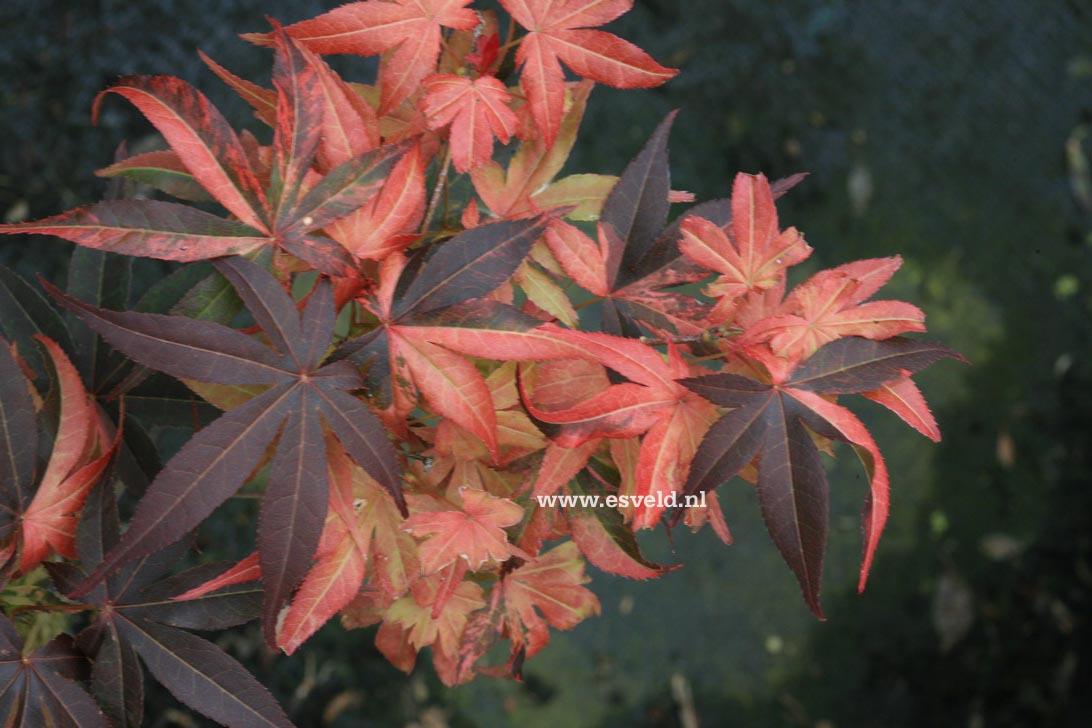 Acer palmatum 'Hinode-nishiki'