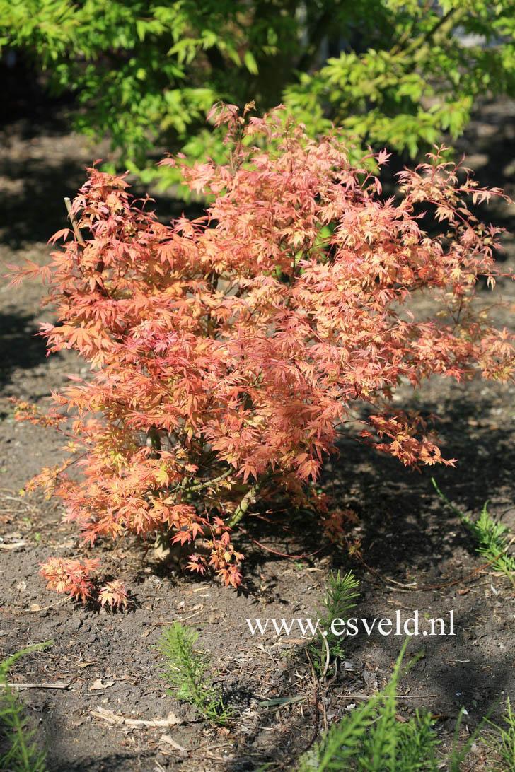 Acer palmatum 'Kawahara Rose'