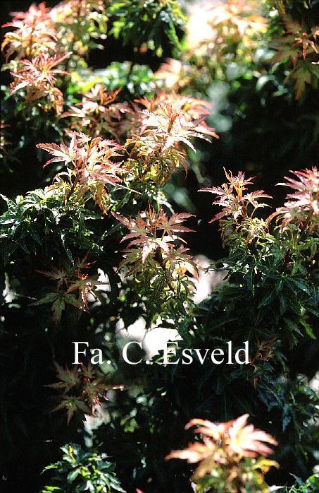 Acer palmatum 'Koto-hime'