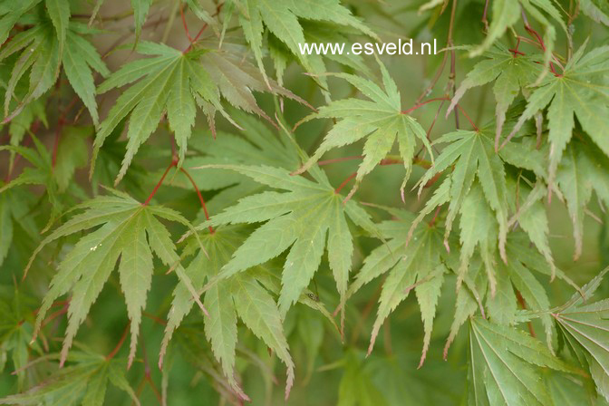 Acer palmatum 'Masu-kagami'
