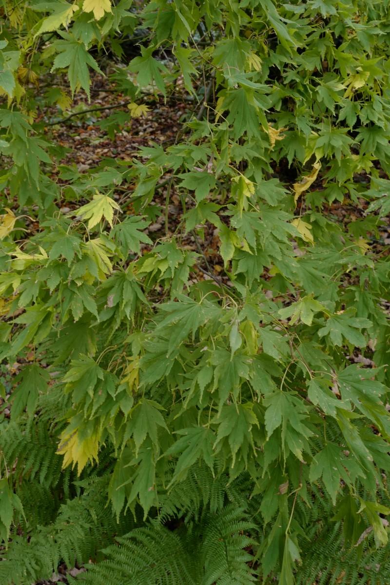 Acer palmatum 'Matsuyoi'