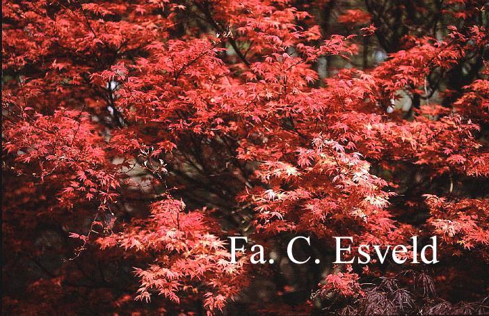 Acer palmatum 'Otome-zakura'