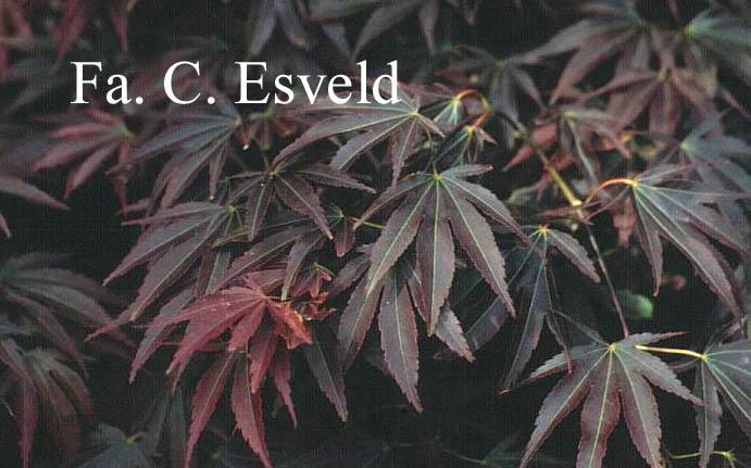 Acer palmatum 'Purpureum'