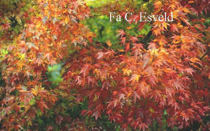 Acer palmatum 'Rising Sun'