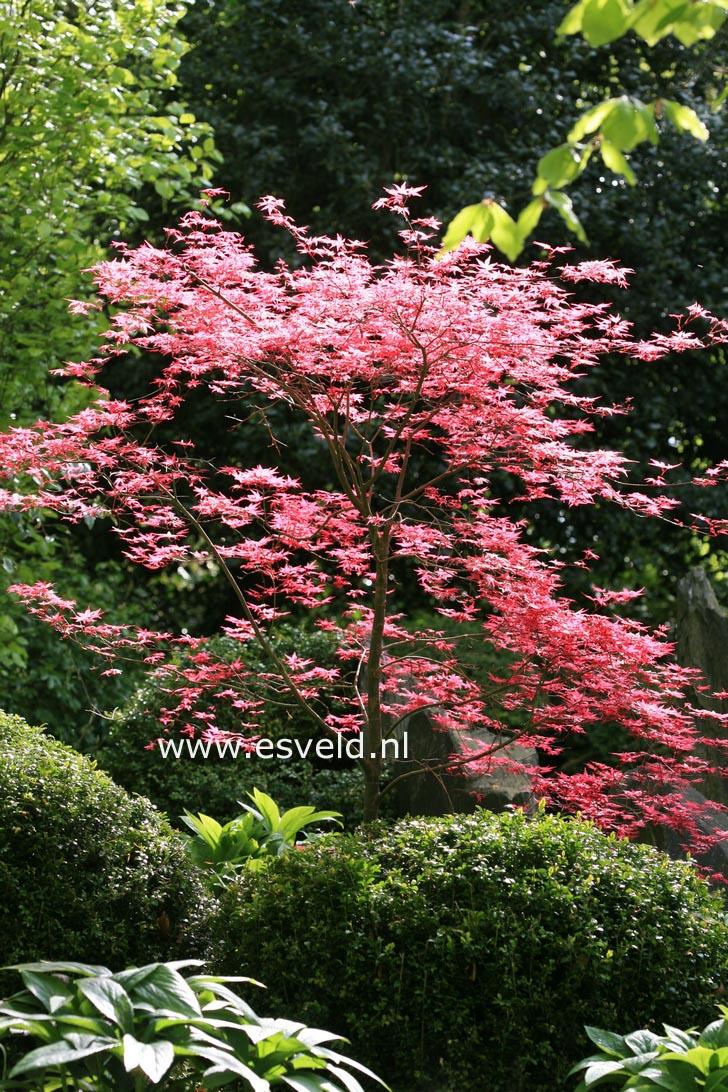 Acer palmatum 'Shin-de-shohjoh'