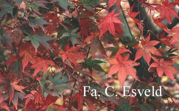 Acer palmatum 'Sumi-nagashi'