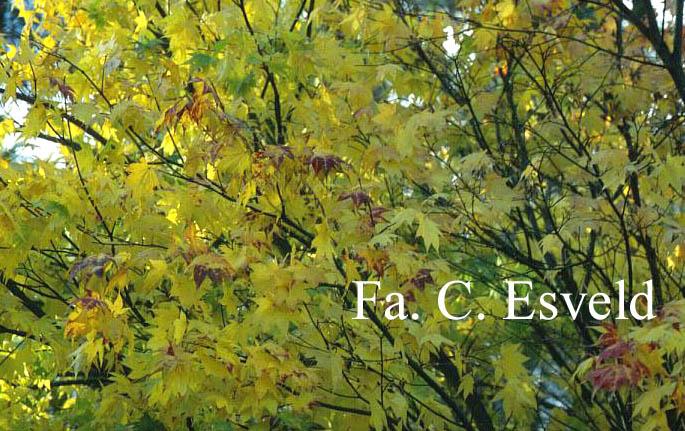 Acer palmatum 'Tatsuta'