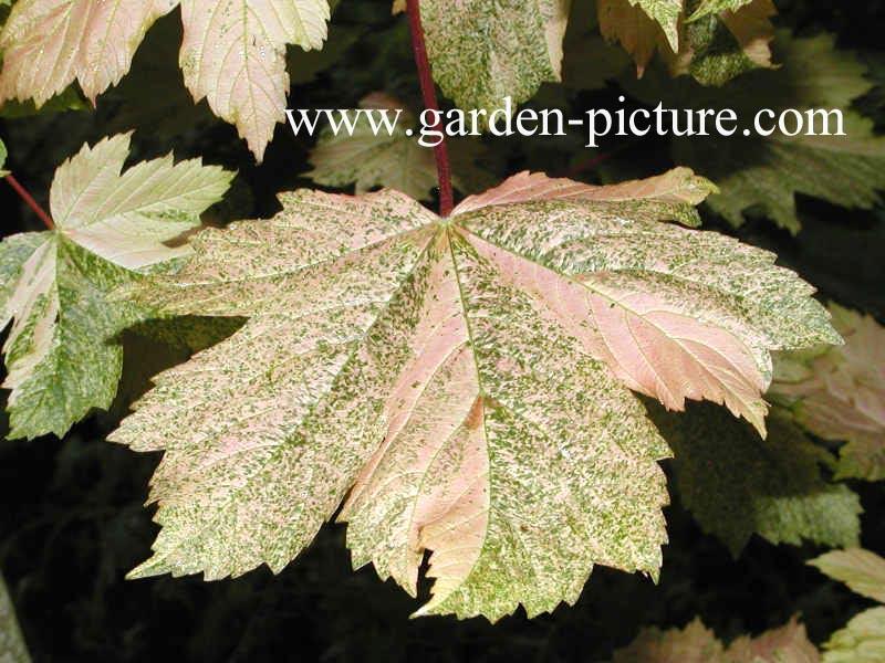 Acer pseudoplatanus 'Simon Louis Freres'
