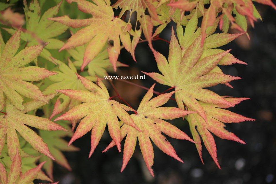 Acer shirasawanum 'Autumn Moon'