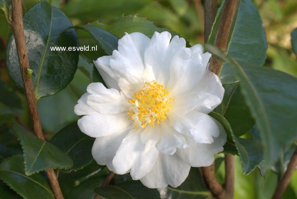 Camellia 'Winter's Cupid'