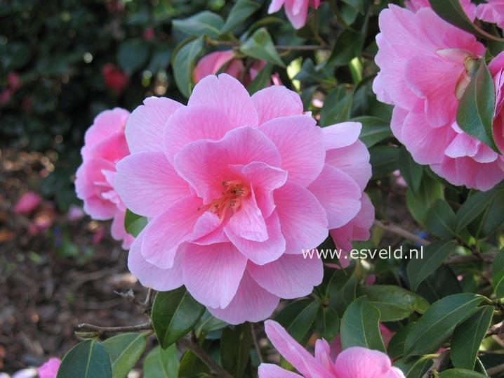Camellia williamsii 'Donation'