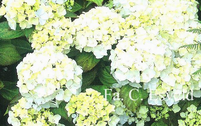 Hydrangea macrophylla 'Ave Maria'