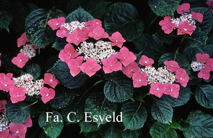 Hydrangea macrophylla 'Bergfink'