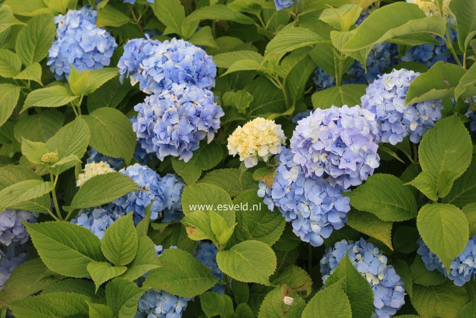 Hydrangea macrophylla 'Blue Bonnet'