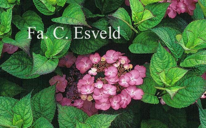 Hydrangea macrophylla 'Dancing Lady'
