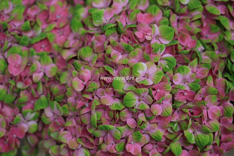 Hydrangea macrophylla 'Hokomac' (MAGICAL CORAL)