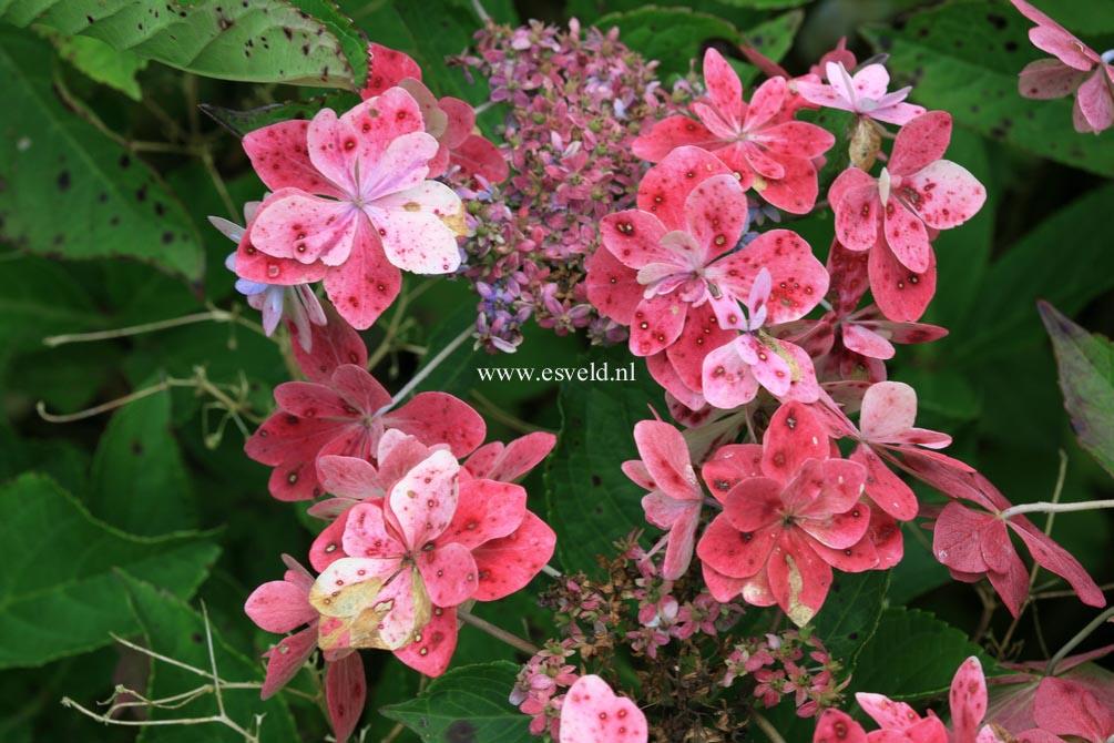 Hydrangea macrophylla 'Izu no hana'