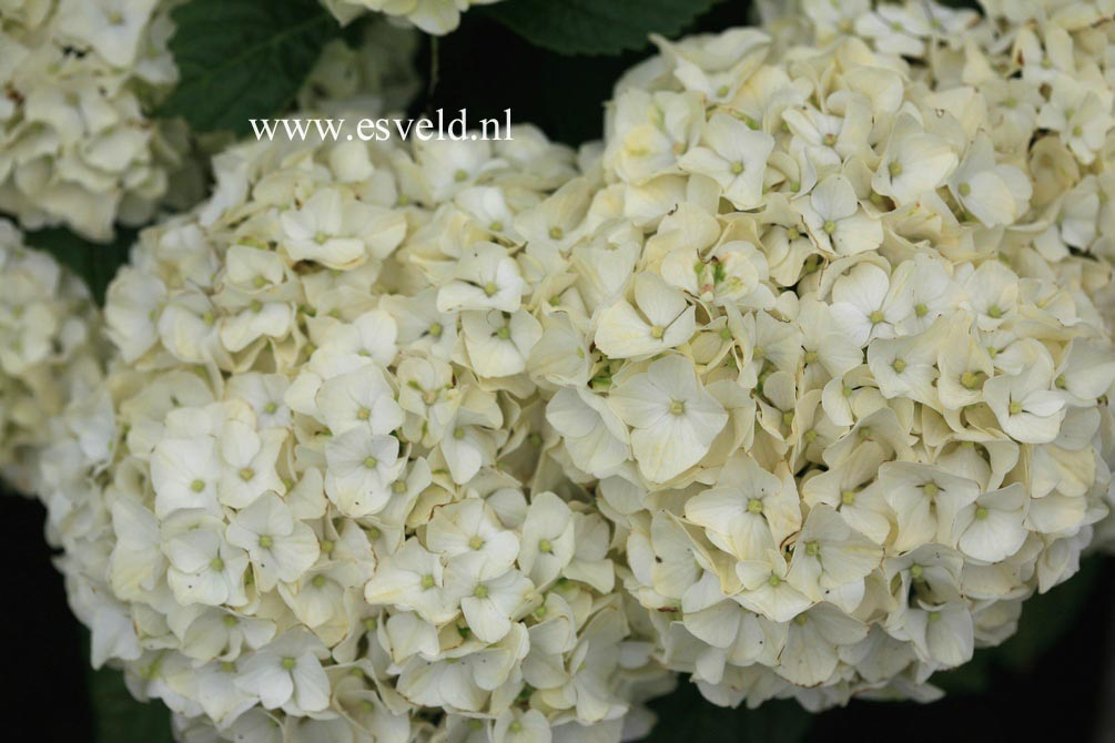 Hydrangea macrophylla 'Napo' (MAGICAL PEARL)
