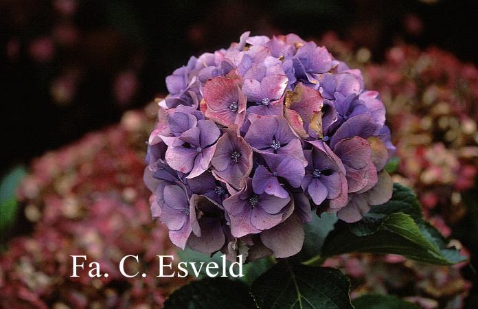 Hydrangea macrophylla 'Renate Steiniger'